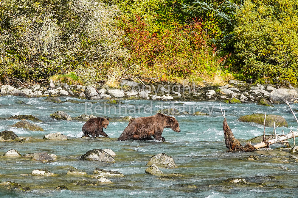 Bear-with-cub-in-river