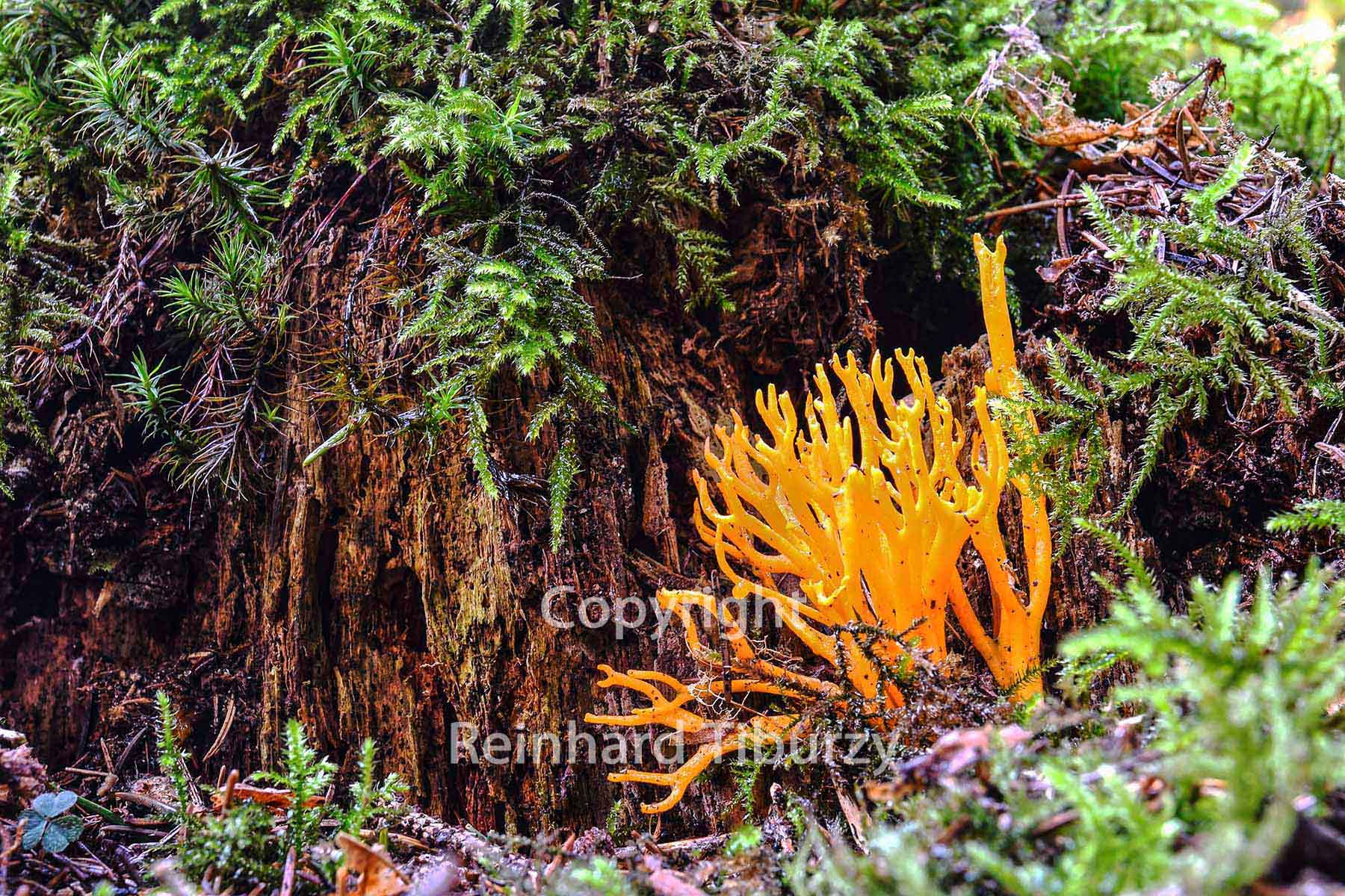 yellow stagshorn, tiny fungus growing on a decaying conifer stump, fungus, fungi, calocera viscosa, tiny, yellow, decaying, conifer, stump, pilz, mushroom, Ziegenbart , klebriger Hörnling,